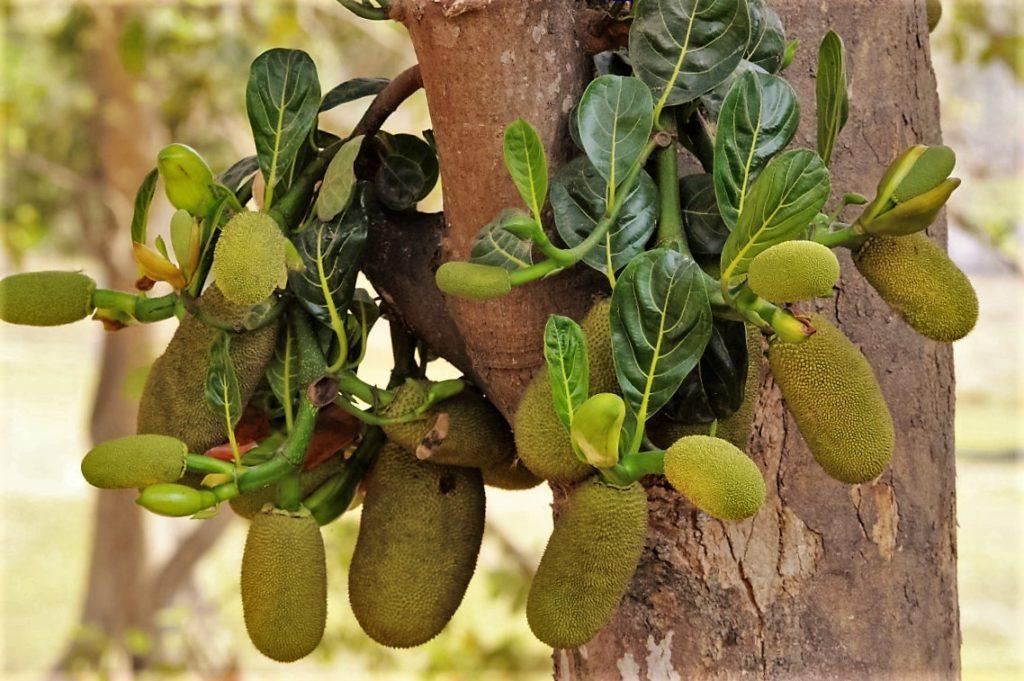 Baby Jackfruits